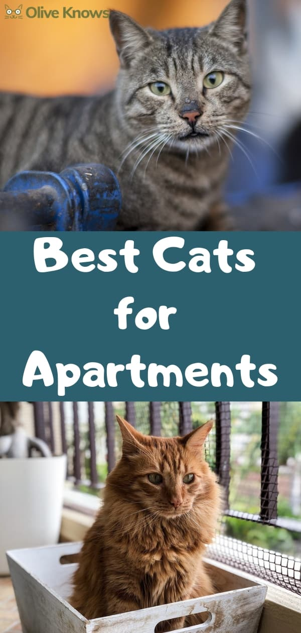 The Best Cats For Apartments Oliveknows