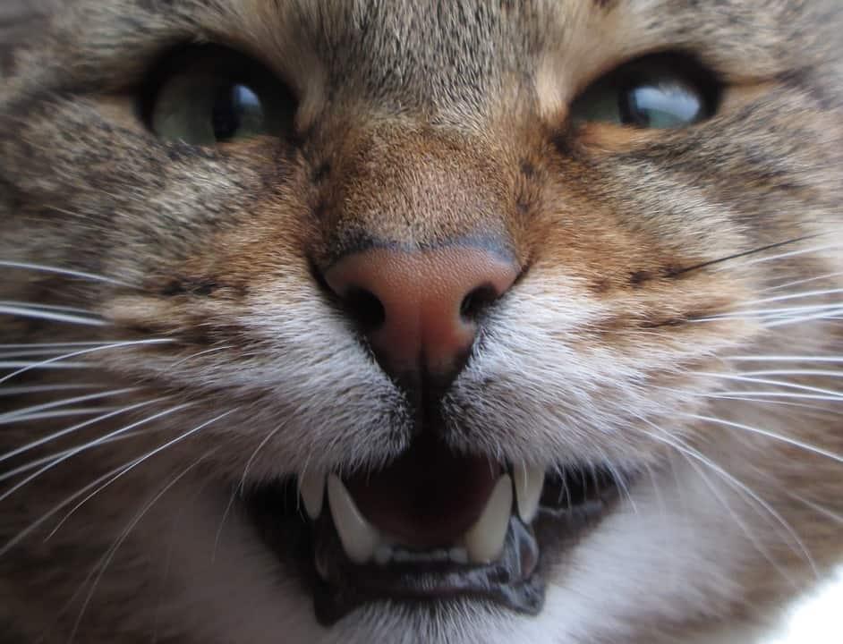 Cat Dental Health Hygiene