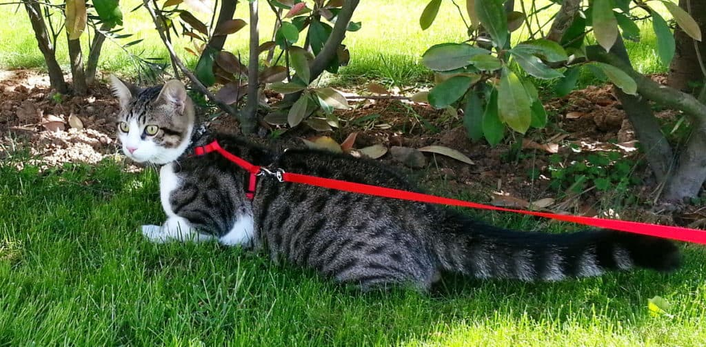 cat-leash