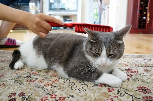 Cat Brushing