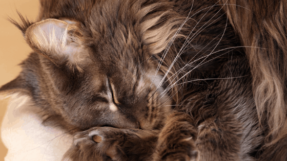 Best-Cat-Food-Maine-Coon
