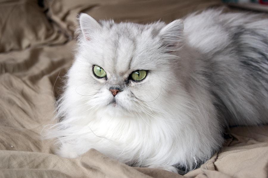 Best Food Persian Cats