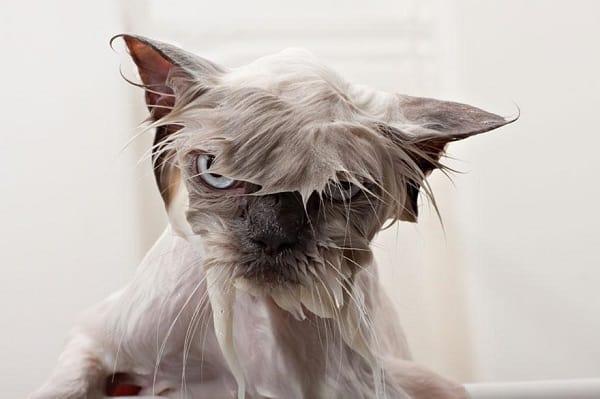 Shampooed Cat