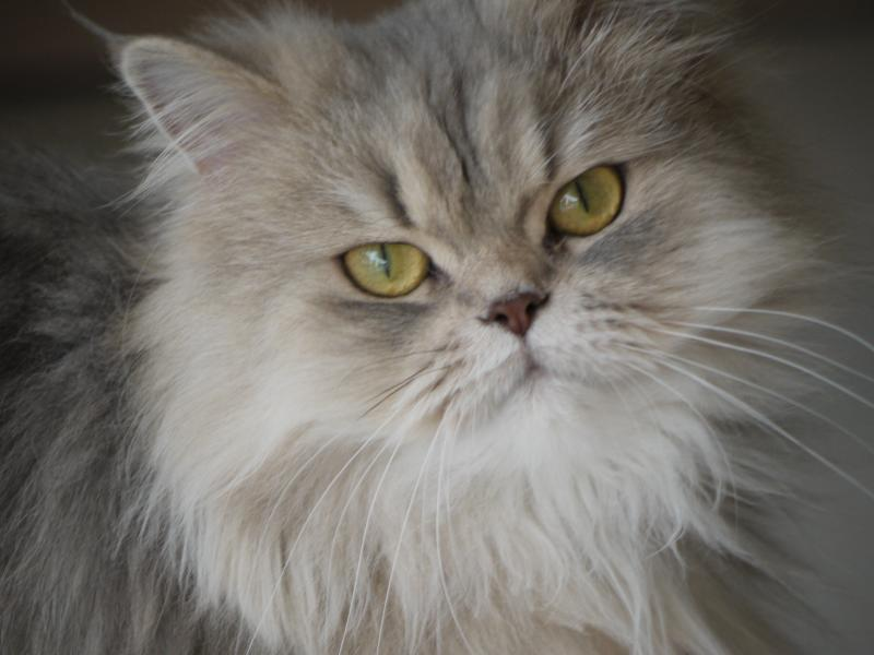 Best Shampoo Persian Cats