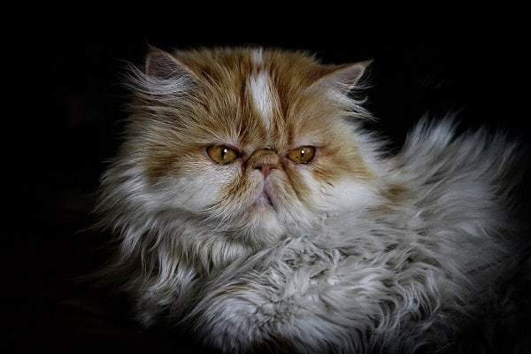 Persian-Cat-Shampoo