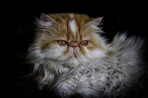 Persian-Cat-Shampoo