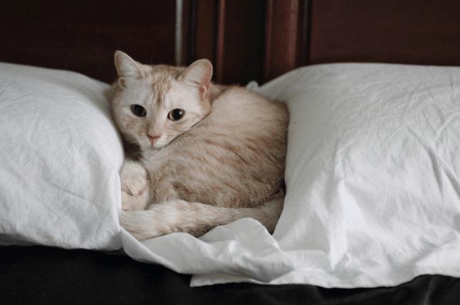 embrace-pet-cat-insurance
