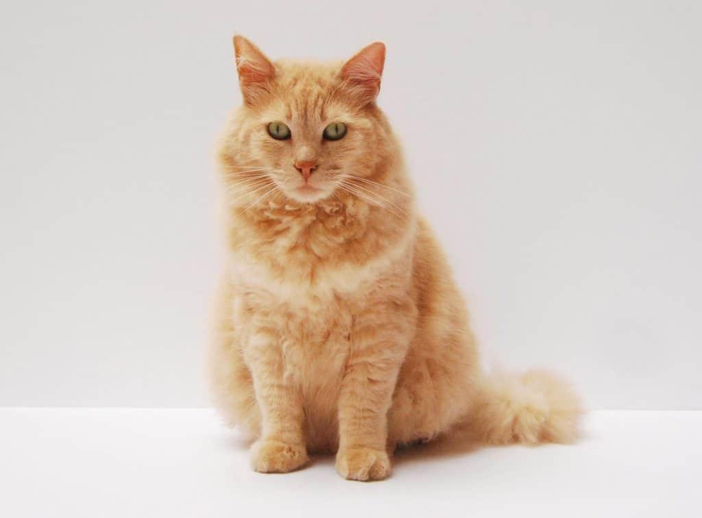 feline-diabetes