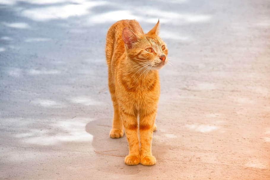 skinny cat 1