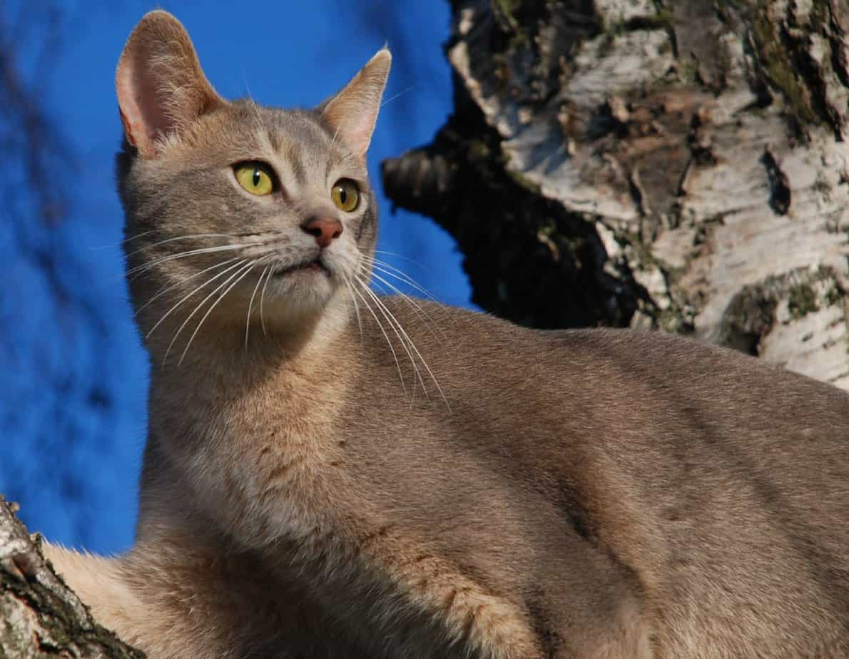 Image result for Abyssinian