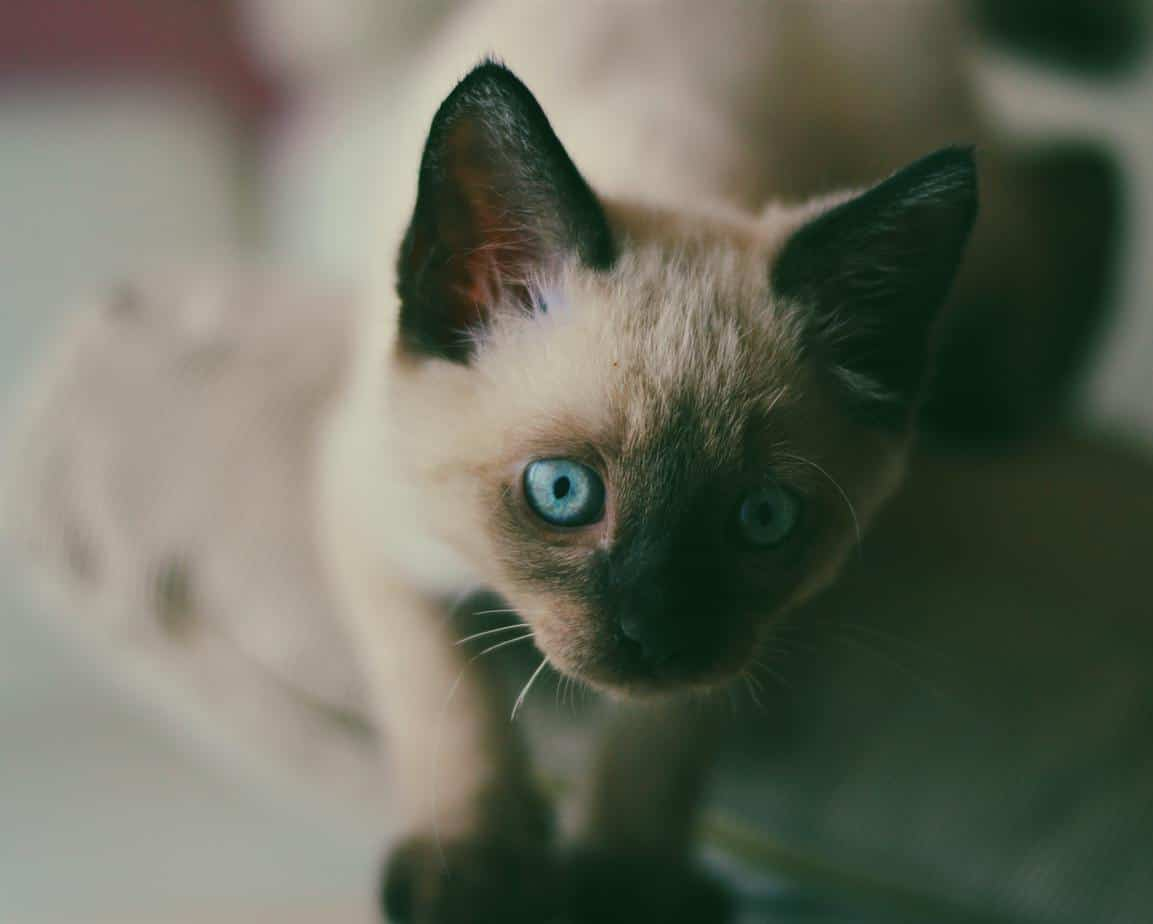 Close-up of a blue-eyed Siamese kitten