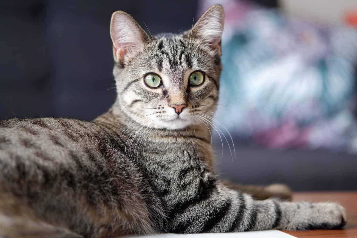 silver tabby cat in tilt shift lens